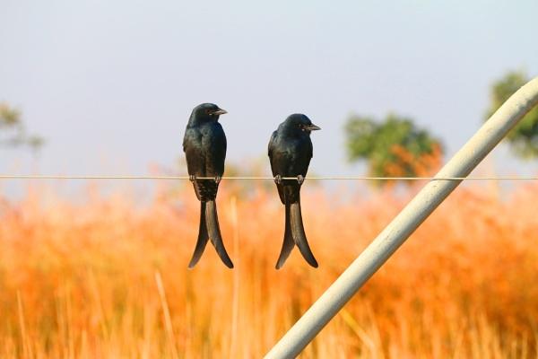 Black Drongo Pair by SagarP
