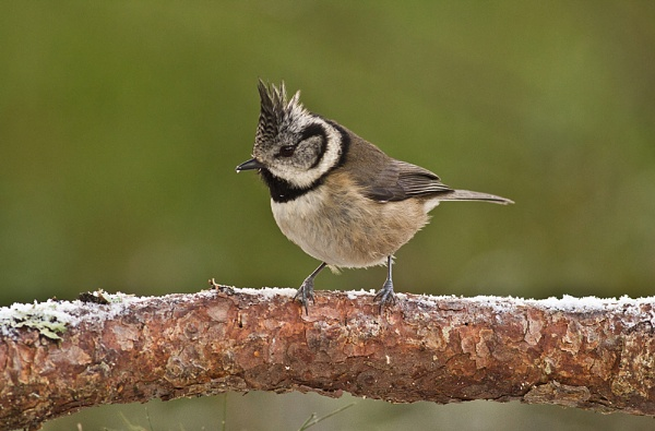 Crested Tit by JohnoP
