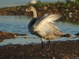 Juvenile Bewick Swan