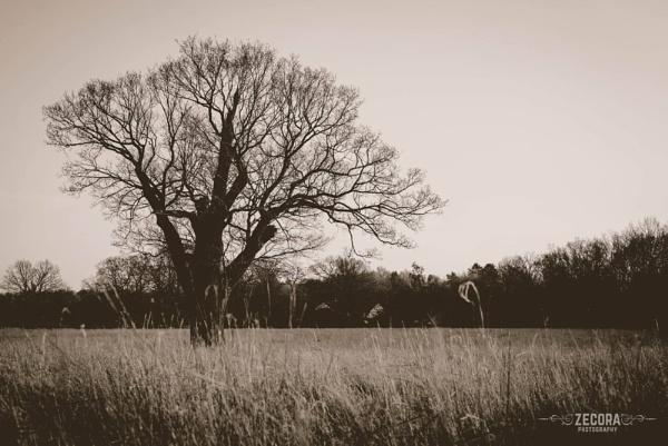Lone Oak Tree by NatalieCHurrell