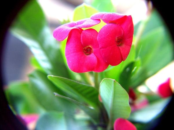 Euphorbia milii by angiephoto