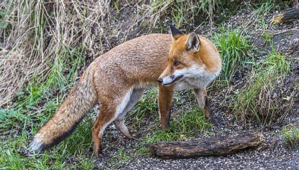 Saltholme Fox by Kruger01