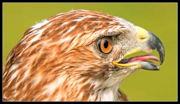 Bird of prey by Albert8048
