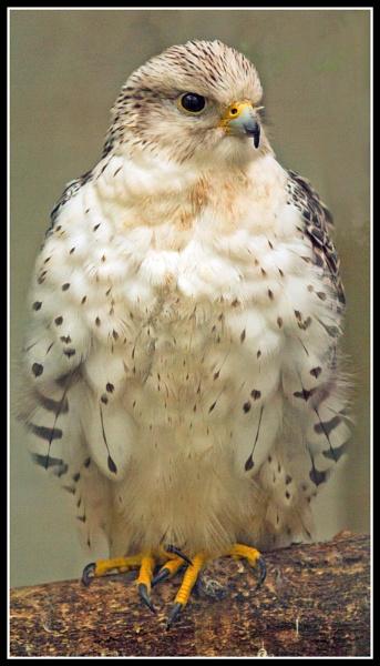 Bird of prey at Carnaby by Albert8048