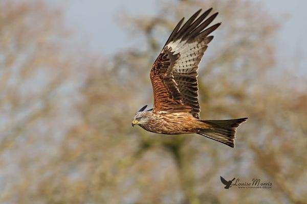 Red Kite II by Louise_Morris