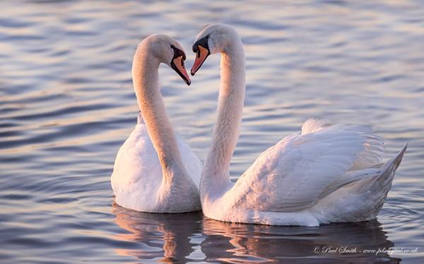 Mute Swan Romance by pdsdigital