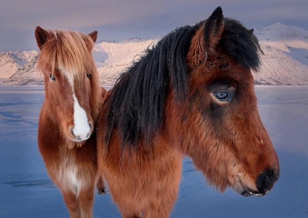 Icelandic Ponies Portrait by JaneMIchelle