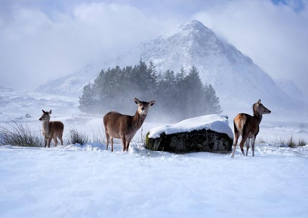 Deer at Glencoe by JaneMIchelle