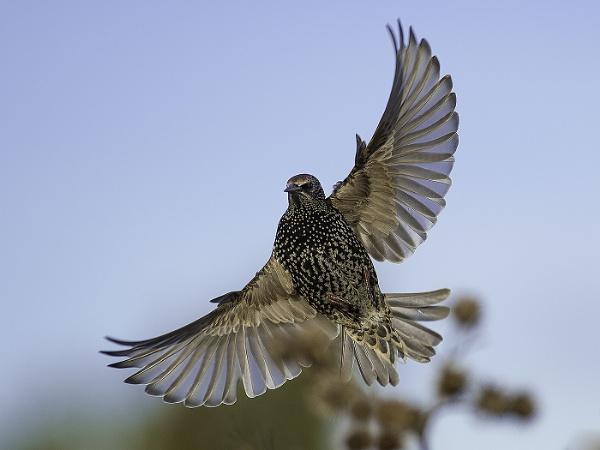 Starling.(Sturnus vulgaris) by 10delboy