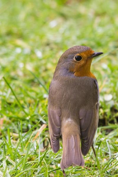 Robin Close up by karkley