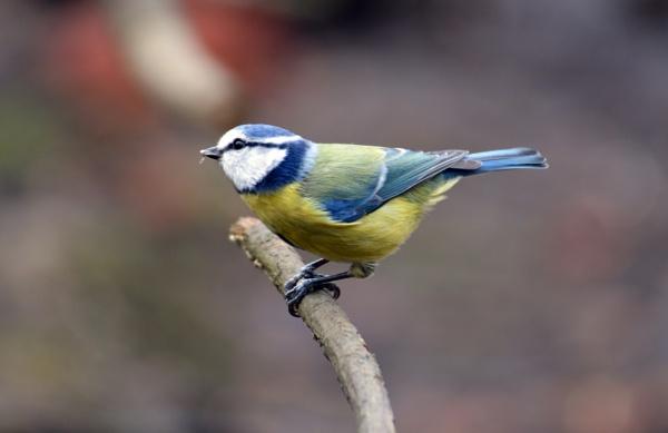 Blue Tit by gaza1957