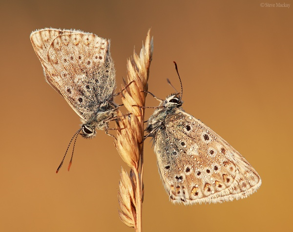 Chalkhill Blues by SteveMackay