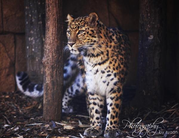 \'Leopard of Greenville\' by PhotographyBySuzan