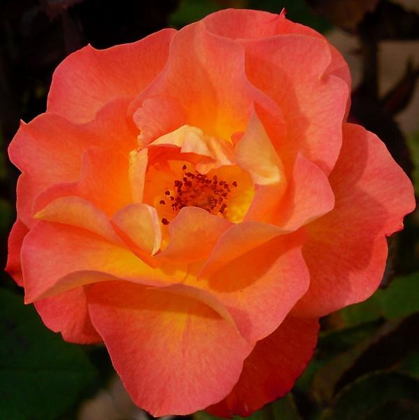 Tangerine Dream by stillworksimagery