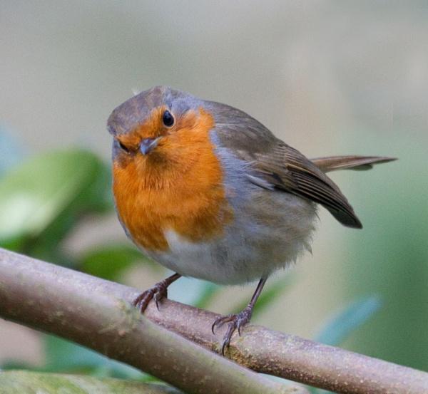 Inquisitive robin by Ian Pratt