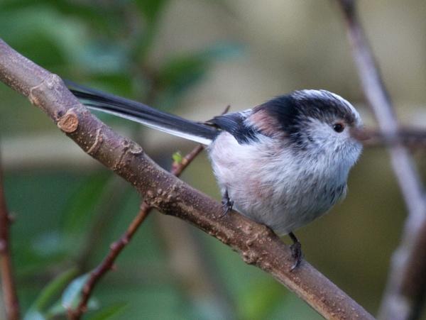 Long-tailed tit 1 by Ian Pratt