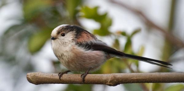 Long-tailed tit 2 by Ian Pratt