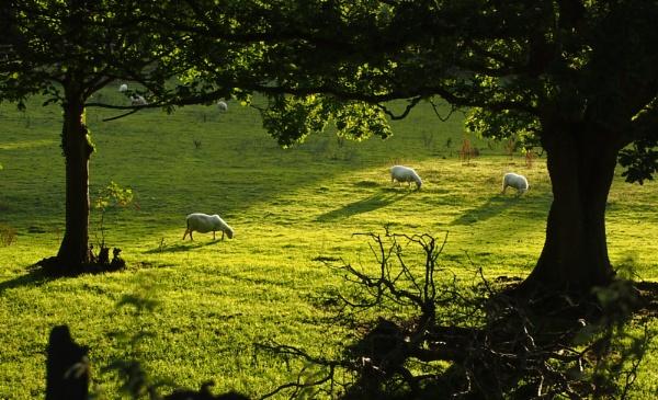 Sheep by G_Hughes