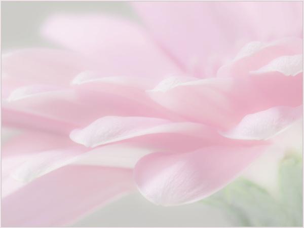 Petal Pink by ptdigital