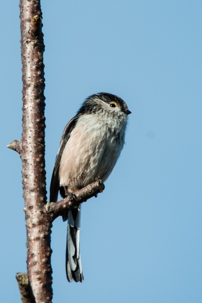 Long Tailed Tit by redken60