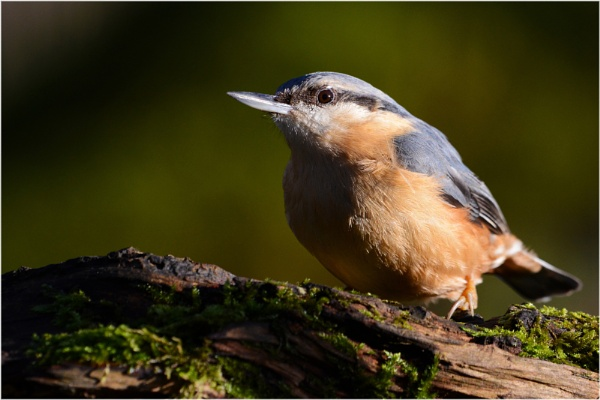 Nuthatch Highlight by richmowil