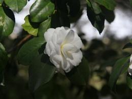 White Camellia,