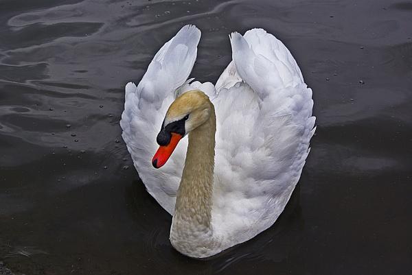 Swan by telstar500