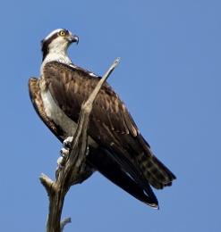 Perching Osprey