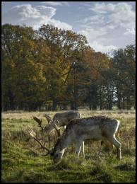 Attingham Deer.