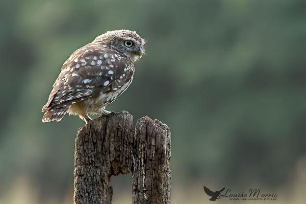 Little Owl XXI by Louise_Morris
