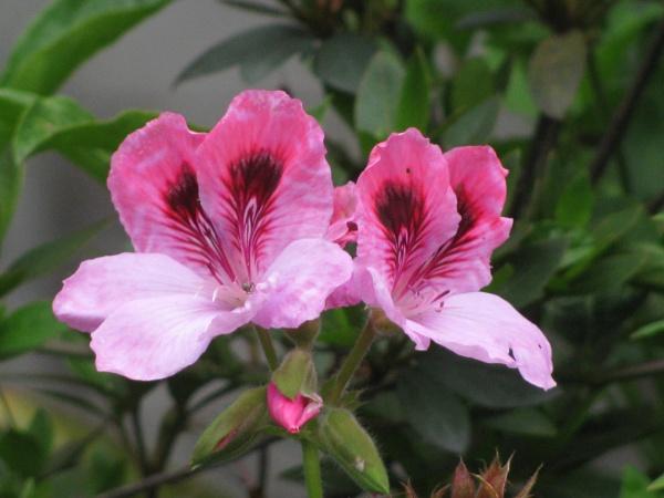 Pink Beauty by kinkhab