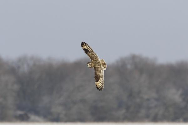 SHORT EARED OWL by EASTFIELD