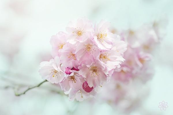 Delicate Spring by jackyp