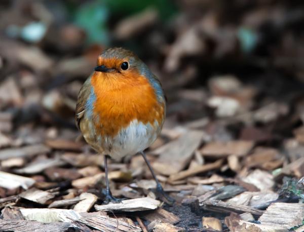 Robin by Franko59