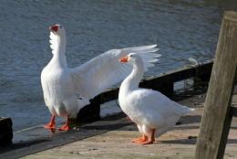 Geese Semi-wild