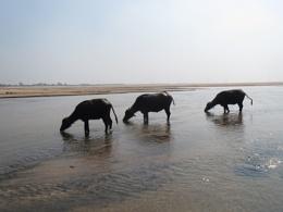 the buffaloes