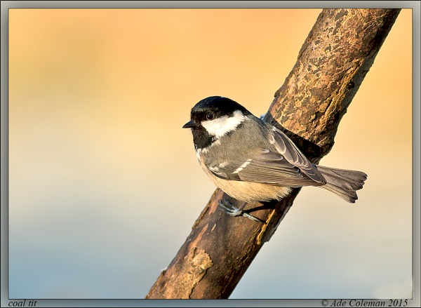 Coal tit 4 by ade123