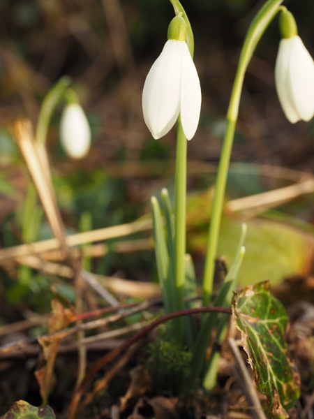 Snowdrop by RichGA