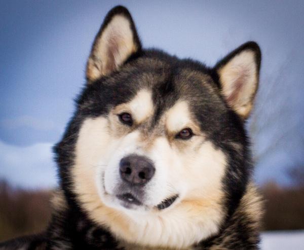 Alaskan Malamute by Dingus
