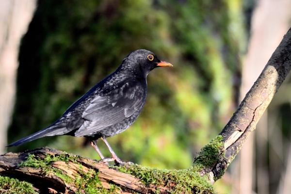 Blackbird ( Terdus merula ) by anglingandyq