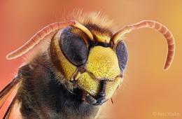 Peach Hornet