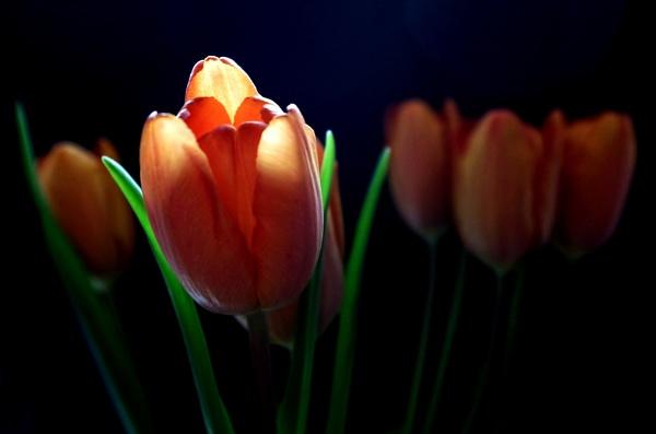 Tulips. by Mollycat