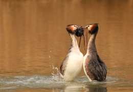 Great Crested Grebe Courtship Dance