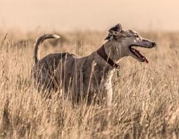 Long Dog in Long grass