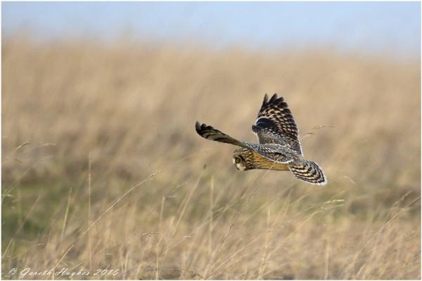 Short-eared owl, Asio flammeus by GarethH
