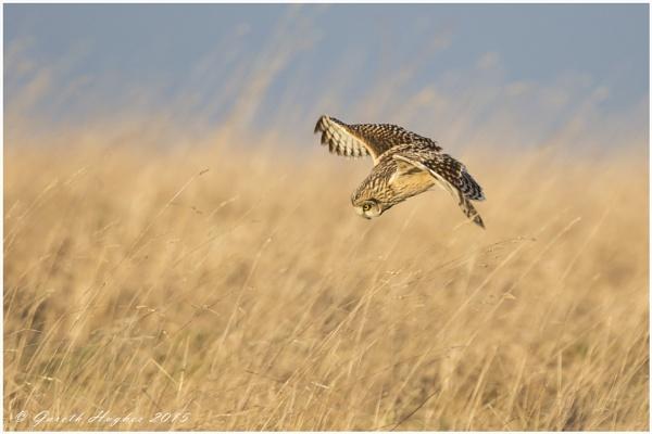 Short eared Owl Asio flammeus by GarethH