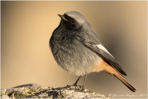 Black Redstart Phoenicurus ochruros by GarethH