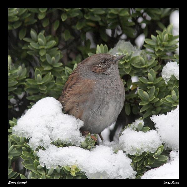 Snowy dunnock by oldgreyheron