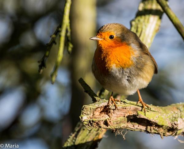 Robin by MariaElaine