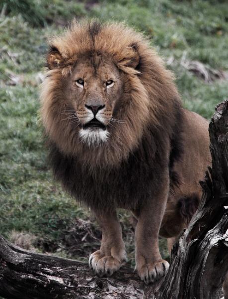 Lion by Franko59
